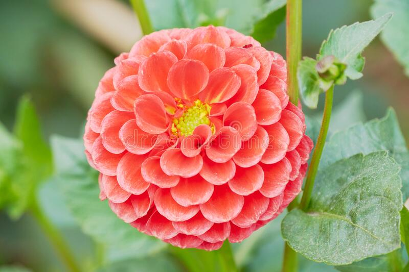 The brightest flower this spring. A bright red dahlia flower with a bright yellow centre and bordered with green leaves in full bloom in a garden during spring royalty free stock images