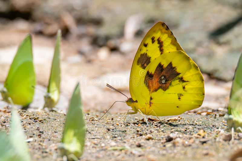 Brightful color Hill Grass Yellow butterfly sticking out proboscis to draw water from wet sand near a group of butterflies royalty free stock image