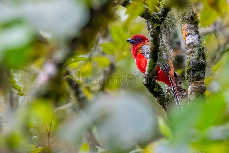 Brightful rotes rothaariges Trogon, das auf einer Stange in einem Dschungel hockt stockfotografie