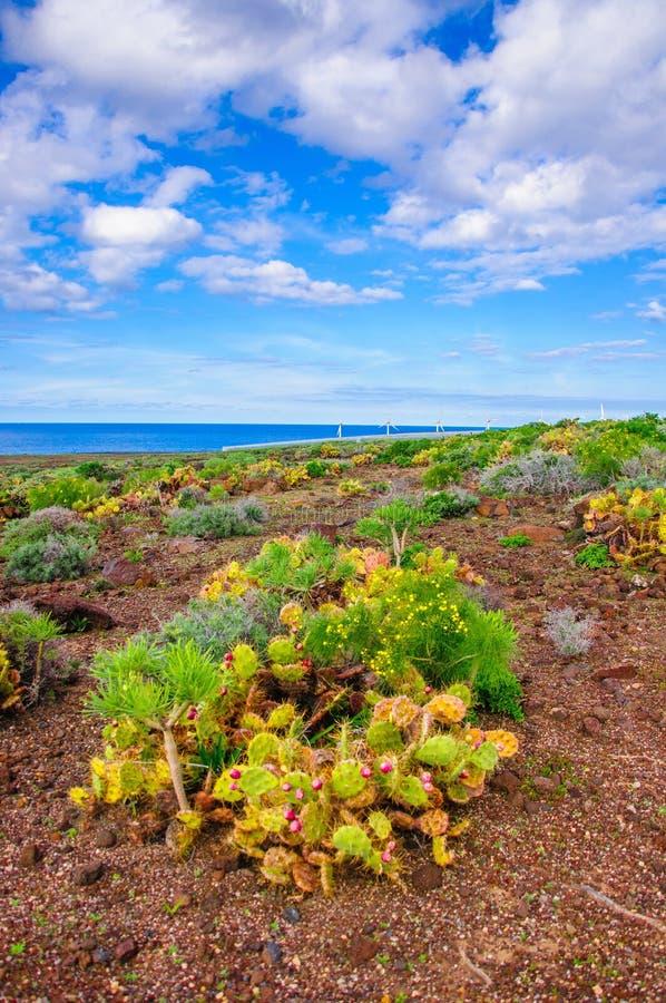 Brightfulcactussen in Tenerife op Canarische Eilanden stock afbeeldingen