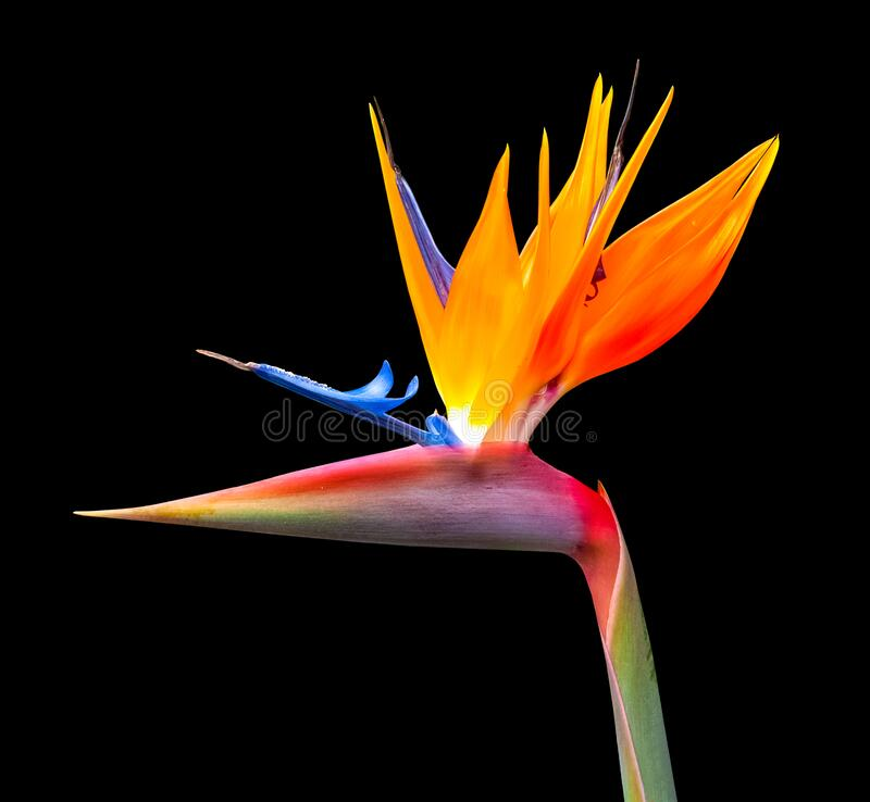 Brightly colored bird of paradise flower closeup royalty free stock photos