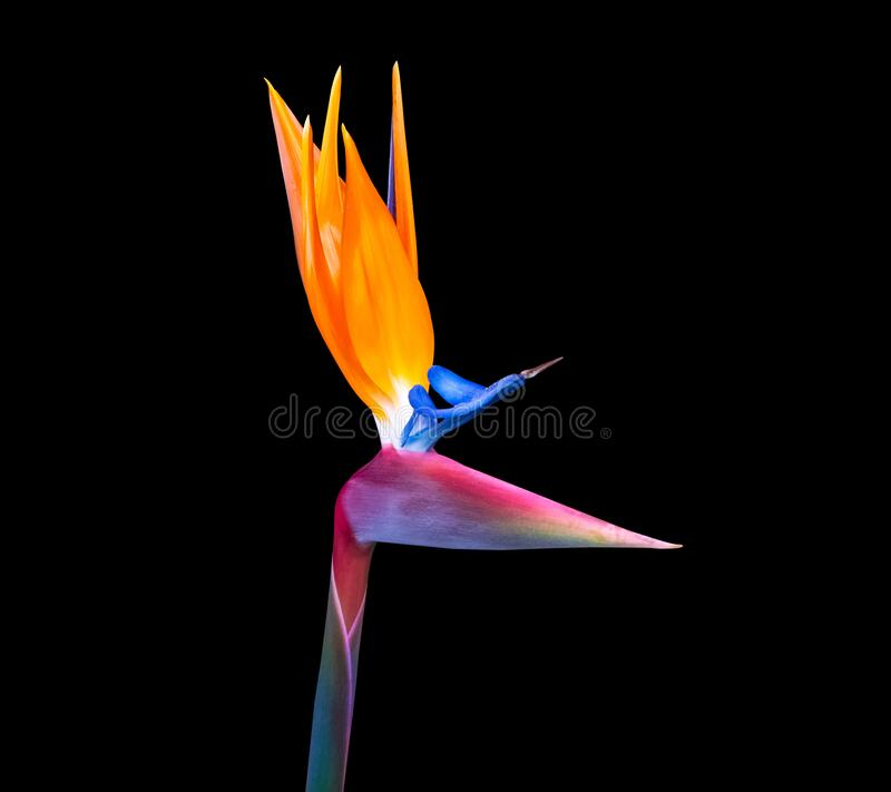 Brightly colored bird of paradise flower closeup stock images