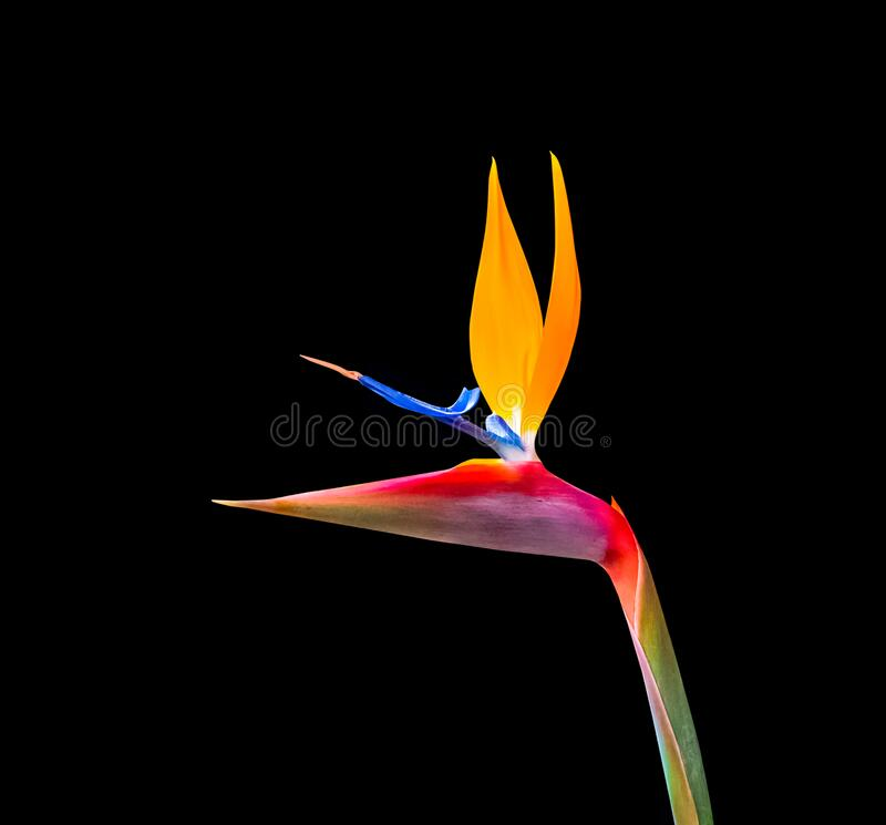 Brightly colored bird of paradise flower closeup royalty free stock photo