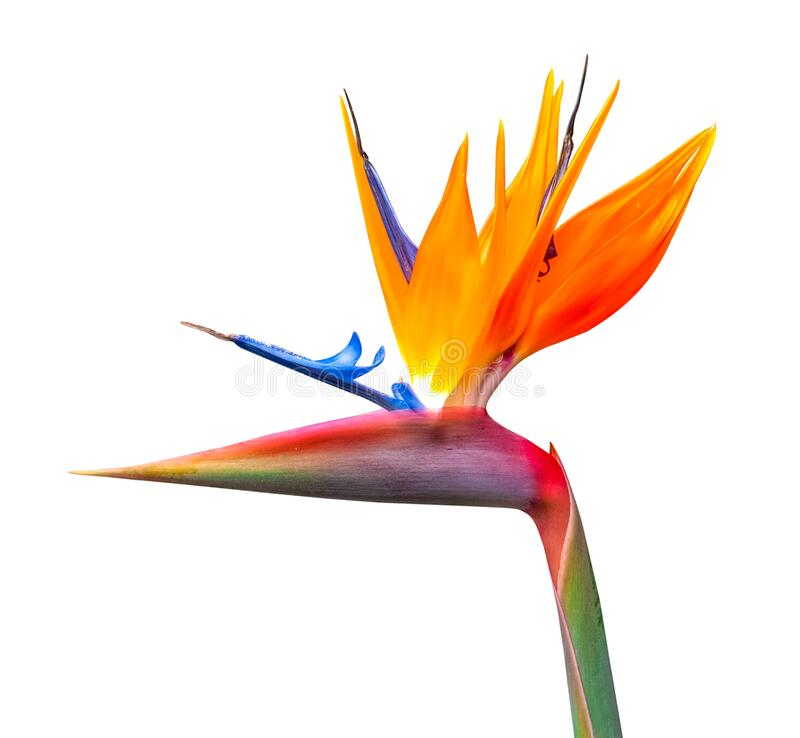 Brightly colored bird of paradise flower closeup stock photography