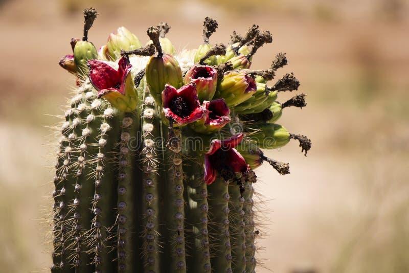 Flowering cactus plant in Phoenix, Arizona. royalty free stock photo