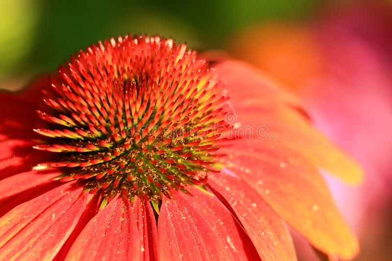 Closeup of a brightly colored and detailed coneflower. stock images