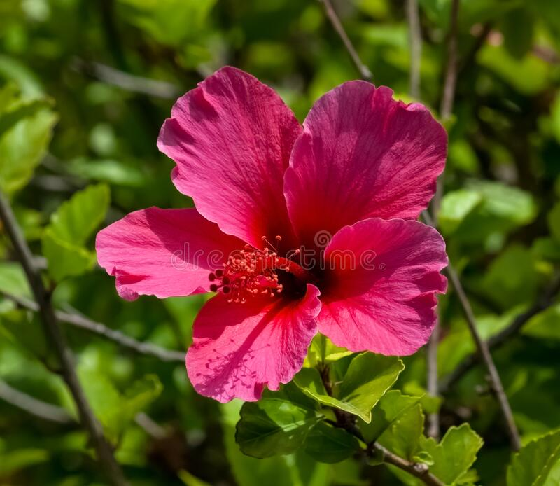 Brightly colored hibiscus flower closeup stock images