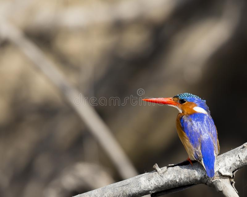 Brightly colored malachite kingfisher. Malachite kingfisher with bright blue back and distinctive lomng orange bill in NW Bostwana stock photos