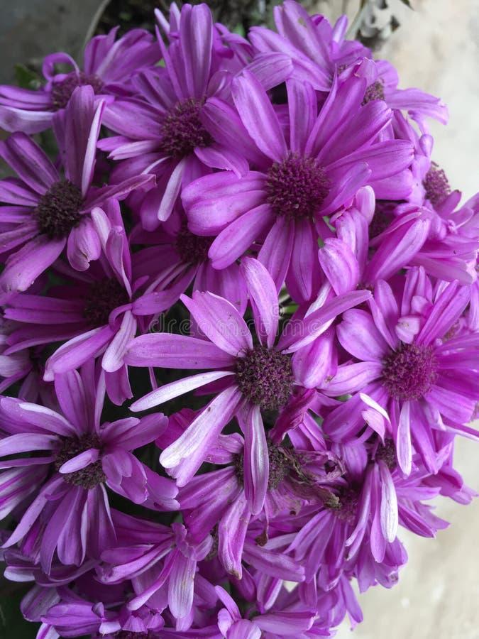Purple colored scenery flower in full bloom. Brightly colored purple colored scenery flower in full bloom autumn flower stock image