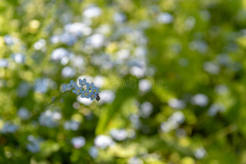 Brightly colored sunlit blue forget-me-not flowers against a natural green background, using a shallow depth of field. Brightly colored sunlit blue forget-me-not royalty free stock photo