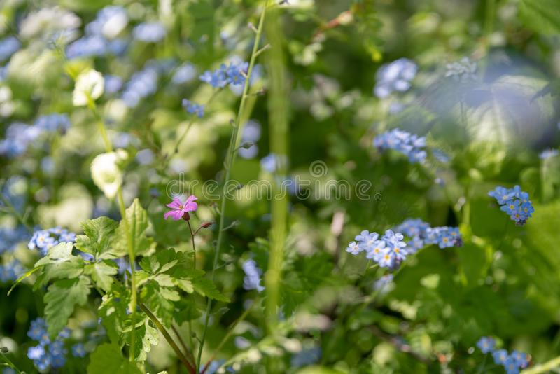 Brightly colored sunlit blue forget-me-not flowers against a natural green background, using a shallow depth of field. Brightly colored sunlit blue forget-me-not stock photos