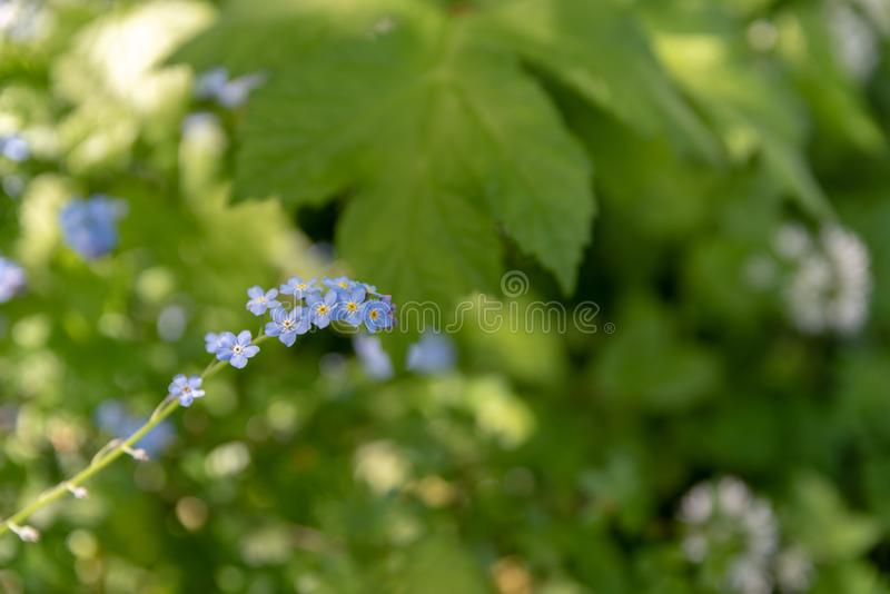 Brightly colored sunlit blue forget-me-not flowers against a natural green background, using a shallow depth of field. Brightly colored sunlit blue forget-me-not stock photo