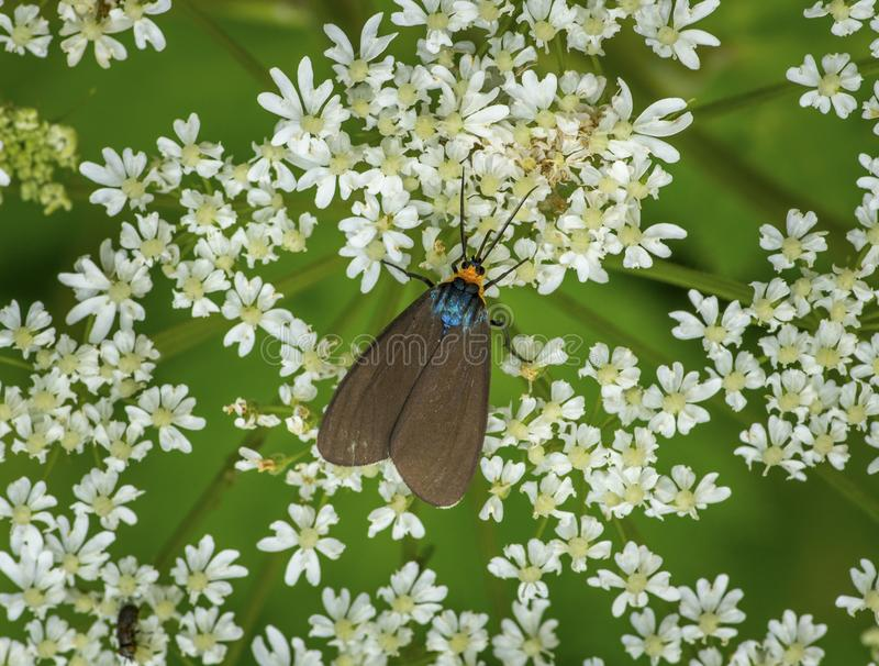 Virginia Ctenucha Moth. A brightly colored Virginia Ctenucha moth feeding on the small white blossoms of a Queen Anne`s Lace flower stock images