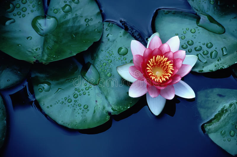 Brightly Colored Water Lily or Lotus Flower Floati royalty free stock image