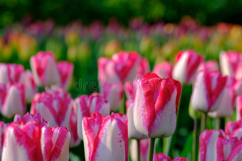 Brightly coloured pink and white tulips on display at Keukenhof Gardens, Lisse, South Holland stock images