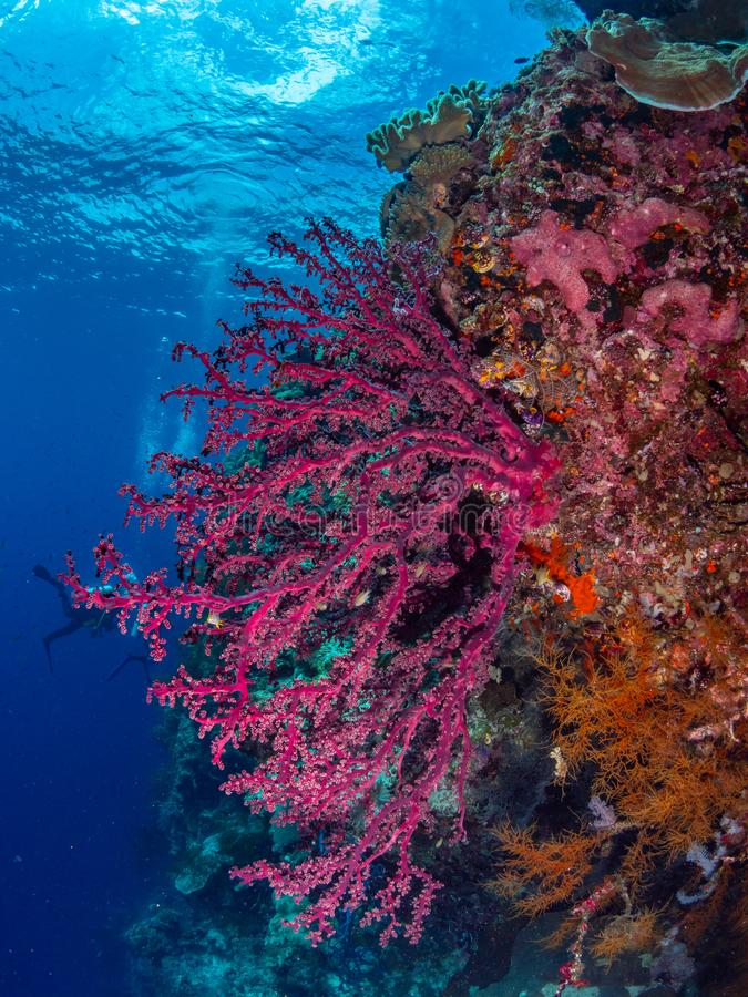 Brightly coloured tropical coral background. Misool, Raja Ampat, Indonesia. The reefs in the Misool Marine Protected Area within Raja Ampat, Indonesia, are the stock photography
