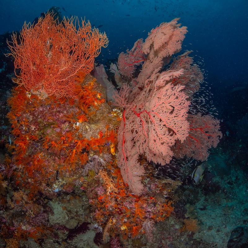 Brightly coloured tropical coral background. Misool, Raja Ampat, Indonesia. The reefs in the Misool Marine Protected Area within Raja Ampat, Indonesia, are the stock image