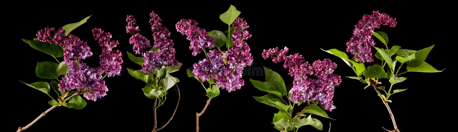 Brightly glowing purple, violet lilac blossom flowers isolated on black royalty free stock photography