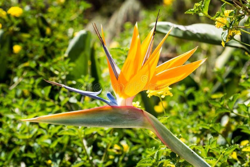 Brightly lit bird of paradise flower against a green garden background. California, los, angeles, orange, county, la, bloom, vivid stock photos