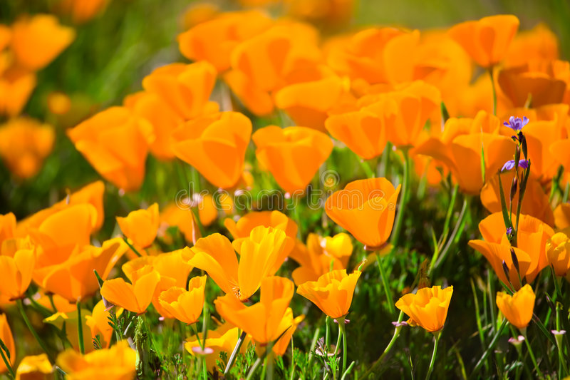 Download Brightly Lit California Poppies Stock Image - Image: 6170333