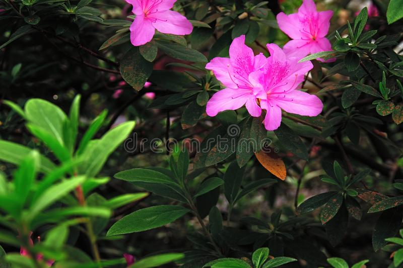 Brightly pink flowers of azalea against dark background beautiful download brightly pink flowers of azalea against dark background beautiful large flowers on bush tropical mightylinksfo