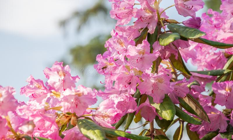 Brightly pink flowers blooming rhododendron on a sunny day royalty free stock images