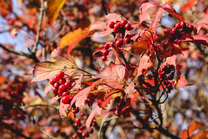 Brightly red ashberry bush rowan tree with red leaves on a blue sky in September, sunny autumn days royalty free stock photos