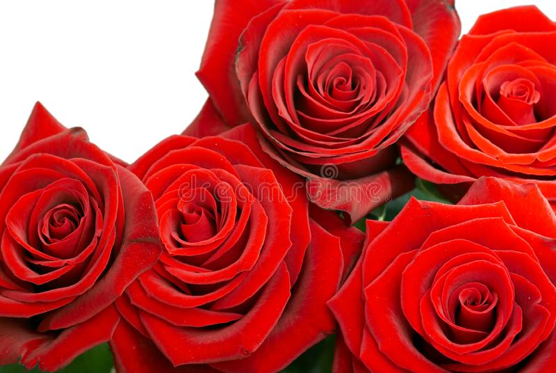 Brightly red roses stock photography