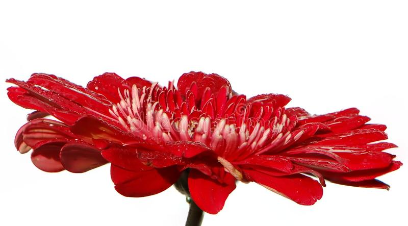 Brightly scarlet gerbera on a white background royalty free stock photo