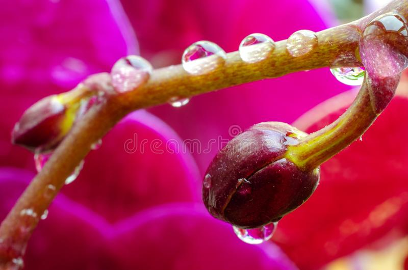 Brightly violet buds of orchids with droplets of water. Against the background of blossoming purple orchids stock photo