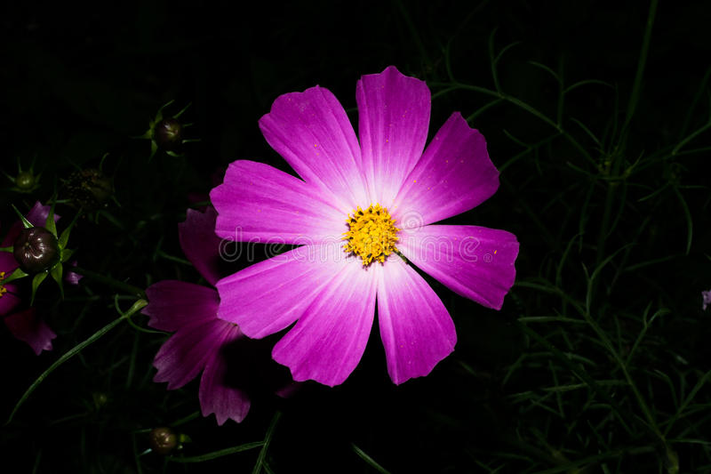 Brightly violet flower with long petals, like a daisy. On a dark background. Macro. Brightly violet flower with long petals, like a daisy. On a dark background royalty free stock photography
