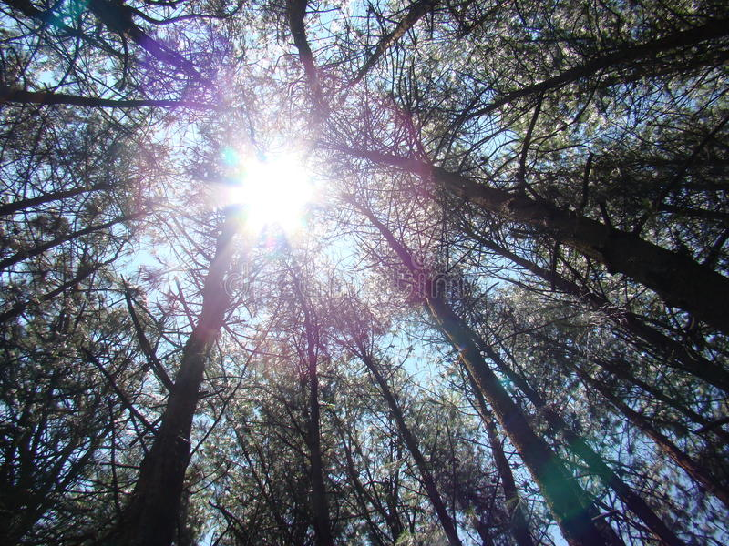 Brightness between the tops of trees. Shines of the sun at noon passing between the trees in a spring blue sky stock photography