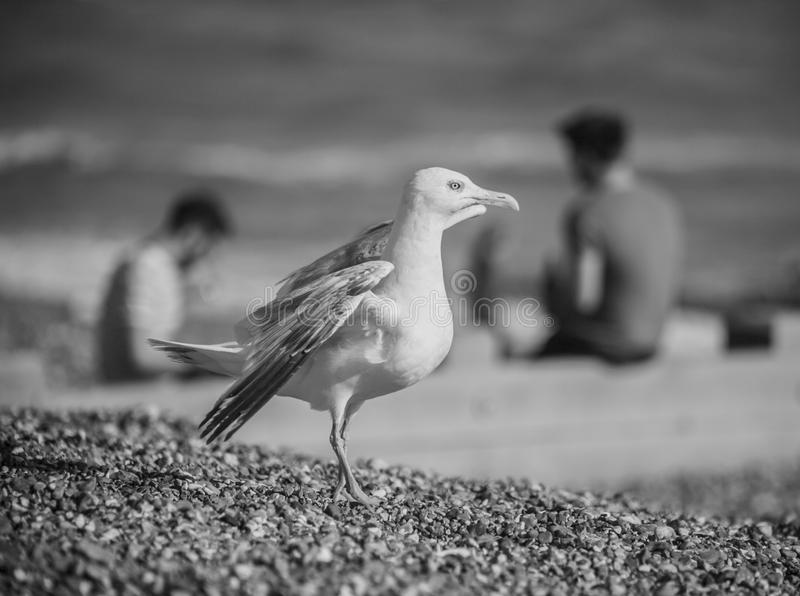 Brighton beach in black and white. This image shows the beach in Brighton in black and white. There`s a seagull stretching its wings in the foreground stock photos
