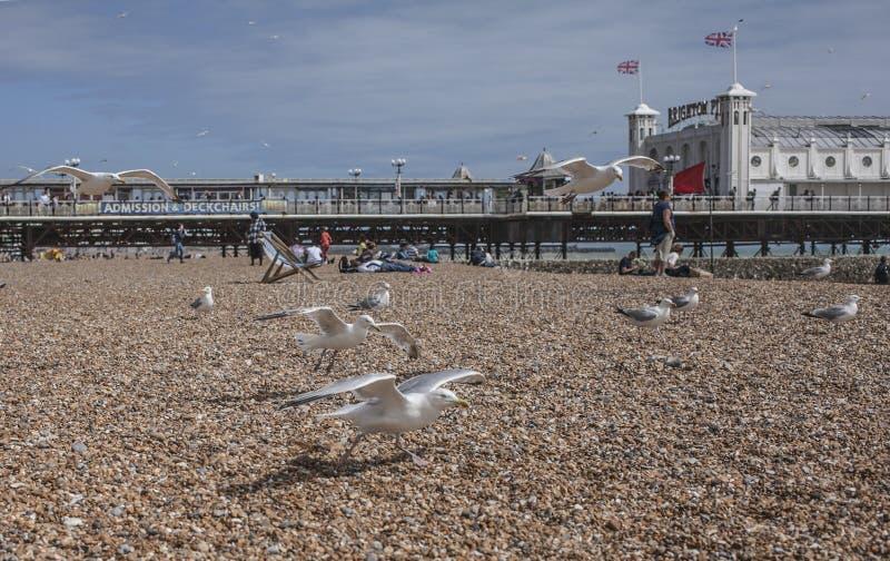 Brighton England - seagulls på beachen/Brighton Pier arkivbilder
