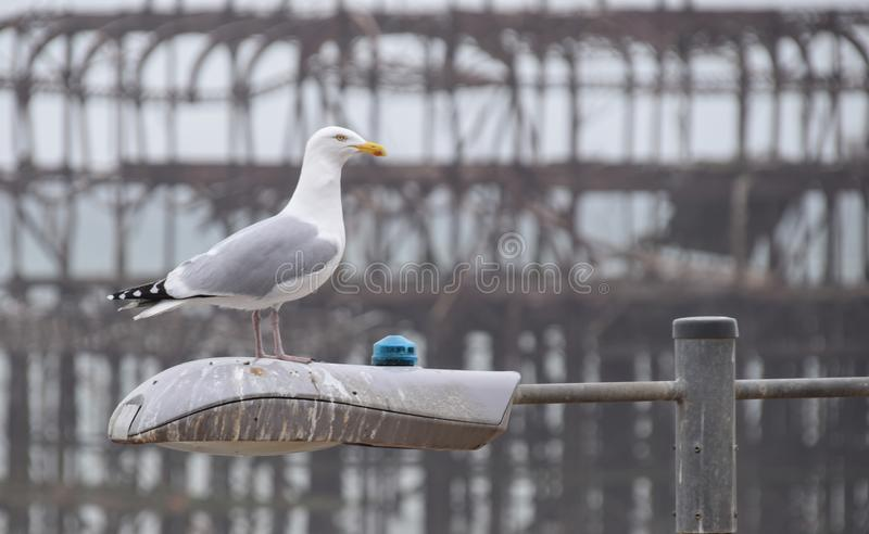 Brighton Herring Gull. A Herring Gull atop a lampost in front of the ruined West Pier in Brighton royalty free stock photo