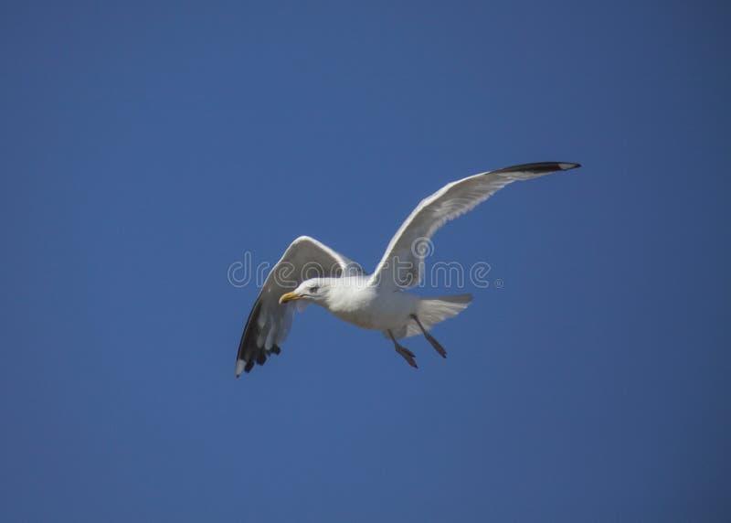 Brighton, Inghilterra - un gabbiano contro un cielo blu fotografia stock