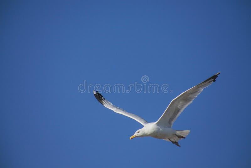 Brighton, Inghilterra - un gabbiano contro un luminoso, cielo blu fotografia stock libera da diritti