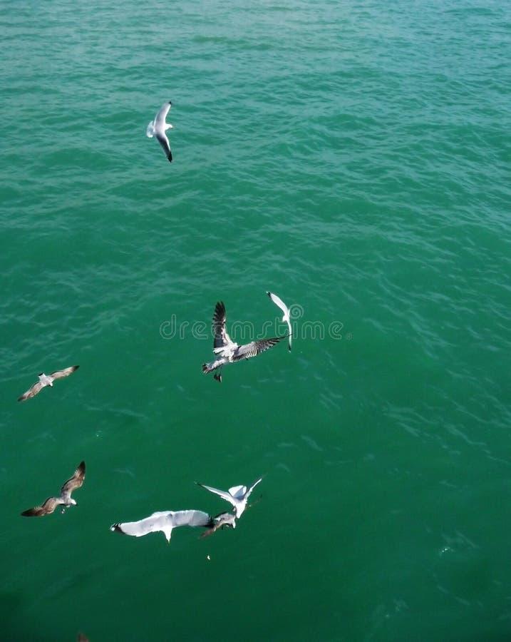 Brighton-Seemöwen, die in die Luft fliegen stockfoto