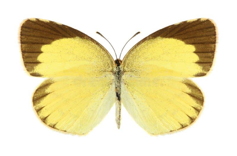 Brigitta de Eurema de la mariposa (varón) fotos de archivo libres de regalías