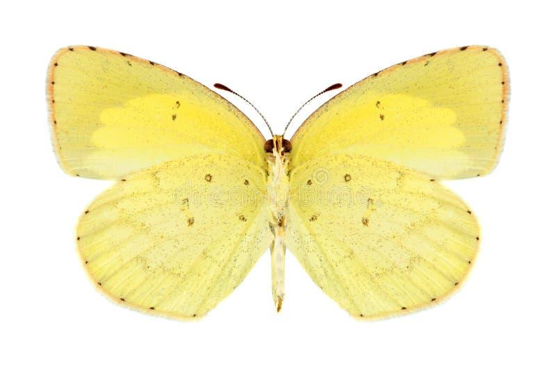 Brigitta de Eurema de la mariposa (varón) (superficie inferior) fotos de archivo libres de regalías