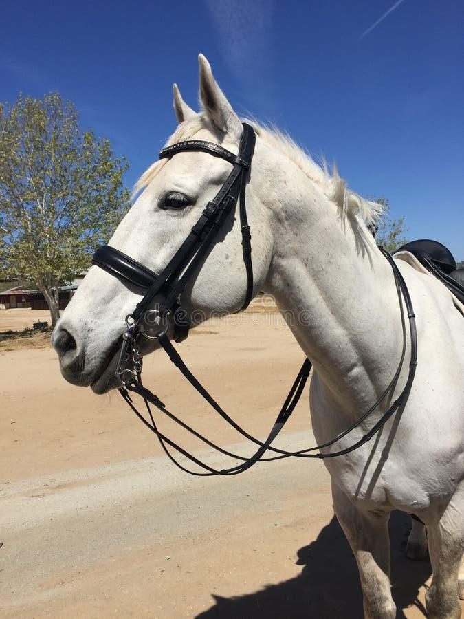 Briglia d'uso del doppio di dressage del cavallo quarto grigio immagine stock