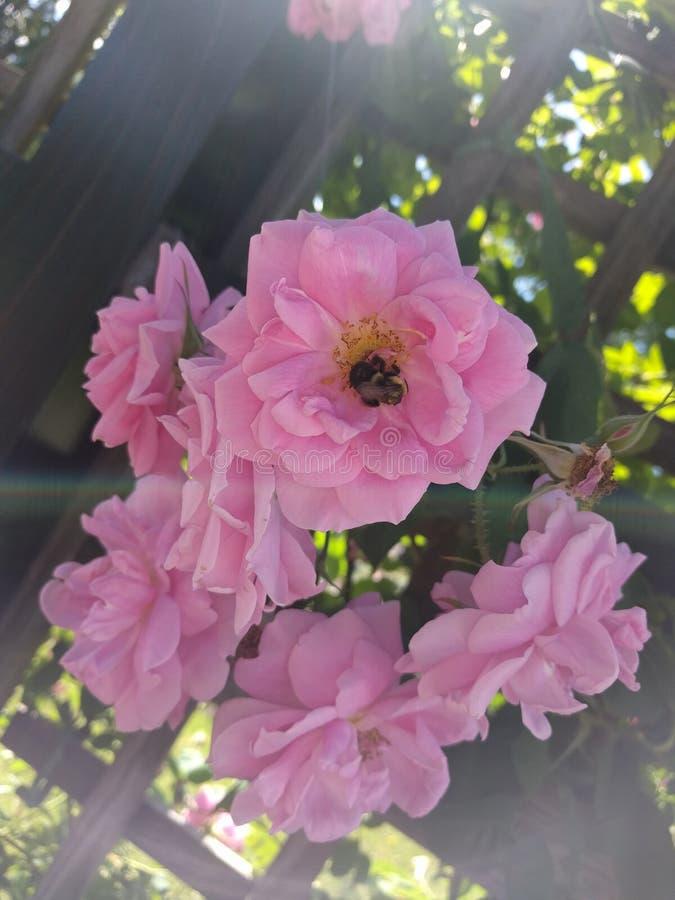 Brilho claro em torno de uma flor cor-de-rosa imagem de stock royalty free
