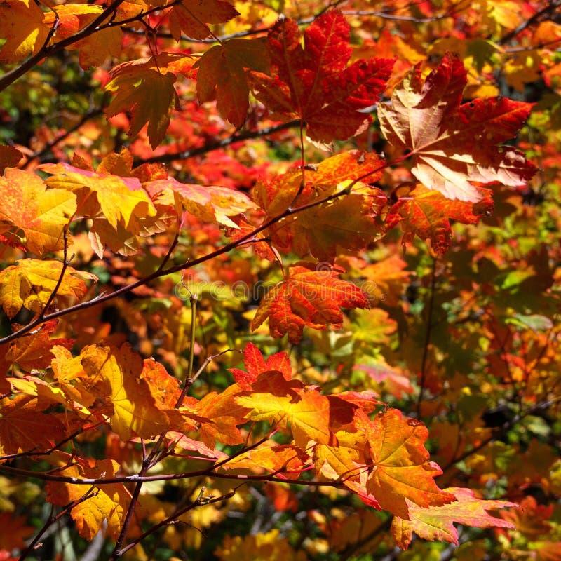 Briljant rött och bladguld i nedgången arkivfoto