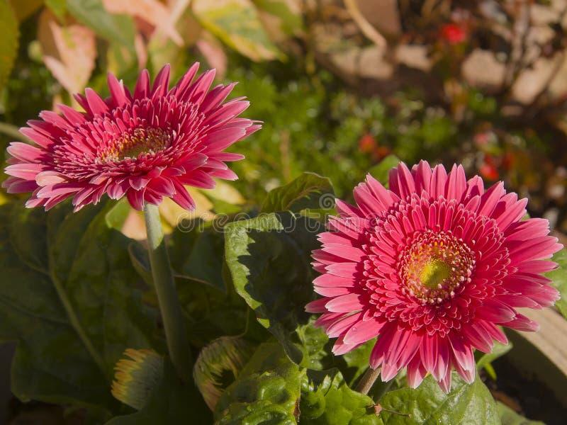 Briljant rosa tusensköna för Gerbera för Barberton tusenskönor arkivbild