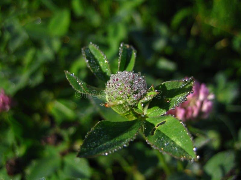 Briljant växt av släkten Trifoliumdagg