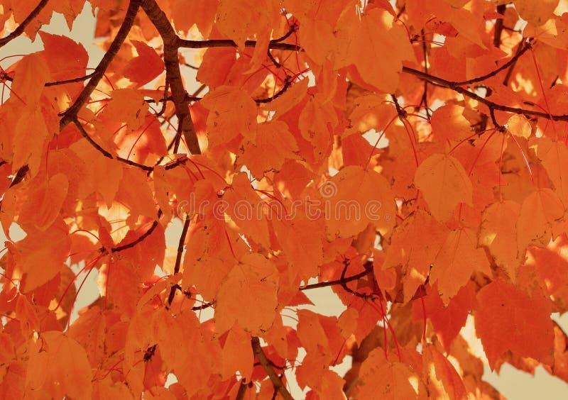 Briljanta guld- orange lönnlöv arkivfoton
