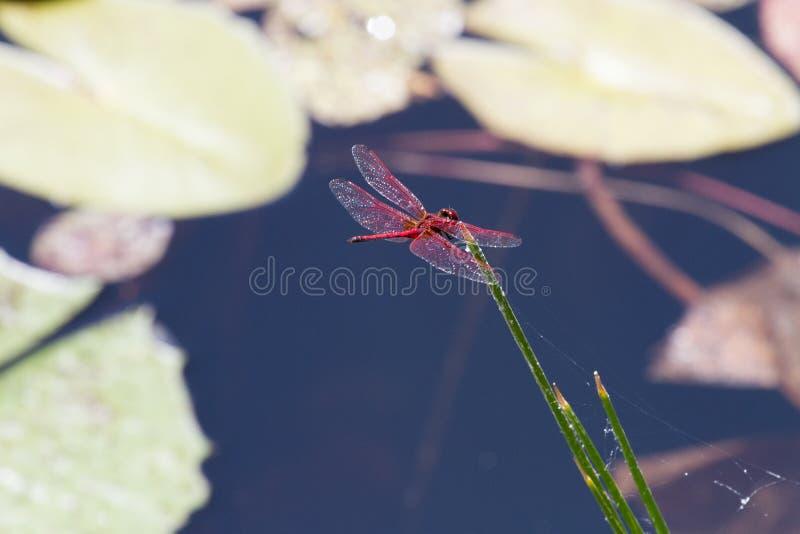 Briljanta röda matningar för en slända från vasser i ett damm nära Hluhluwe-/Imfolozilekreserven i Kwazulu Natal, Sydafrika arkivfoto
