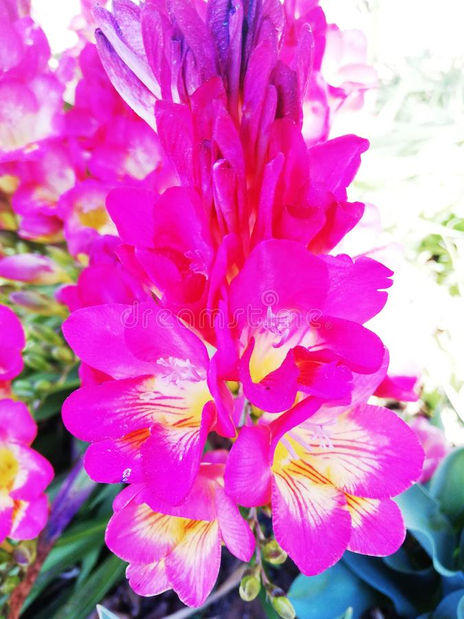 Bright pink carnations. S. , abstract, colorful, vibrant royalty free stock photos