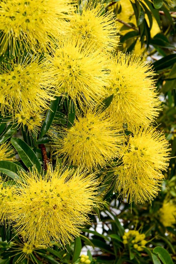 Brillantez amarilla del natural australiano fotos de archivo
