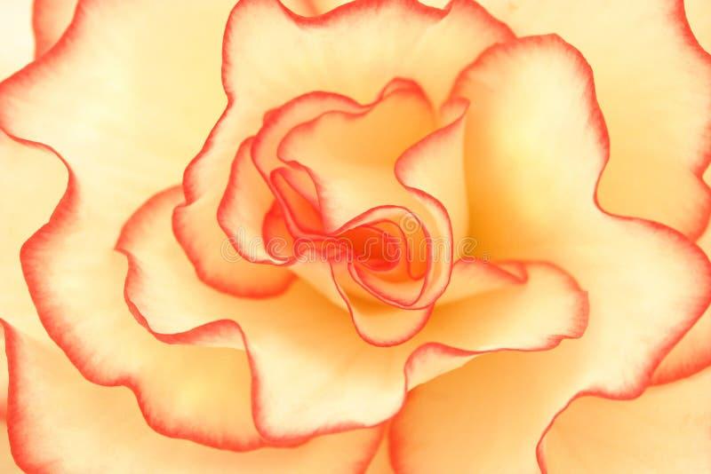 Brillantez de la begonia foto de archivo